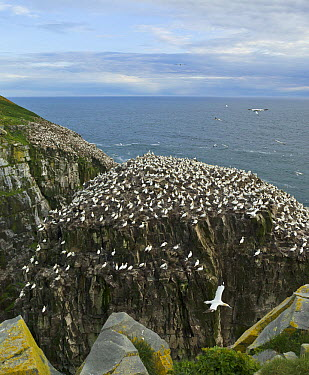 Northern Gannet (Morus bassanus) nesting colony, Cape St. Mary's Ecological Reserve, Newfoundland, Canada  -  Yva Momatiuk & John Eastcott