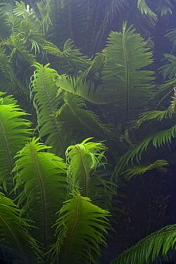 Modjadji Cycad (Encephalartos transvenosus) young leaves, Modjadji Cycad Reserve, South Africa  -  Piotr Naskrecki