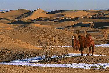 Bactrian Camel (Camelus bactrianus) in winter, Gobi Desert, Mongolia  -  Pete Oxford