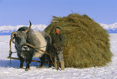 Yak (Bos grunniens mutus) and boy with sled carrying hay, Darkhad Depression, Mongolia  -  Pete Oxford