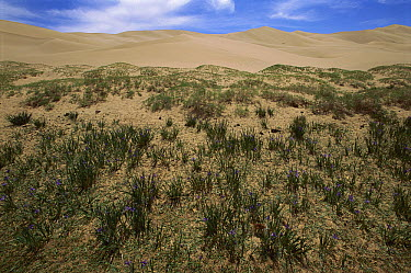 Vegetated dunes with pure sand dunes behind, Gobi Desert, Mongolia  -  Pete Oxford