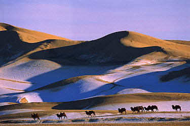 Bactrian Camel (Camelus bactrianus) group in dunes, Hongryn Eels, Gobi Desert, Mongolia  -  Pete Oxford