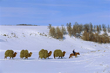 Bactrian Camel (Camelus bactrianus) caravan packing hay, Darkhad Depression, Mongolia  -  Pete Oxford