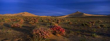 Morning Glory (Convolvulaceae) in bloom, Hongryn Eels, Gobi Desert, Mongolia  -  Pete Oxford