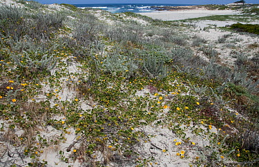 California Poppy (Eschscholzia californica) flowers in coastal dunes, Asilomar State Beach, Pacific Grove, California  -  Norbert Wu