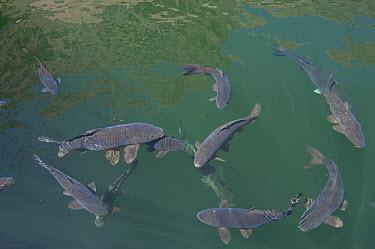European Carp (Cyprinus carpio) group, Lake Powell, Arizona  -  Norbert Wu