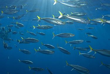 Pacific Jack Mackerel (Trachurus symmetricus) school, Guadalupe Island, Mexico  -  Norbert Wu
