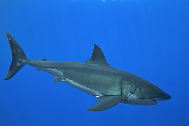 Great White Shark (Carcharodon carcharias) female with scars on head from mating, Guadalupe Island, Mexico  -  Norbert Wu