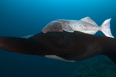 Remora (Remora remora) on Manta Ray (Manta birostris), Revillagigedos Islands, Mexico  -  Norbert Wu