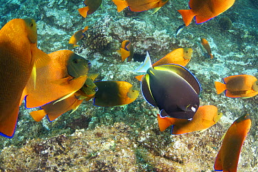 Whitecheek Surgeonfish (Acanthurus nigricans) in school of Clarion Angelfish (Holacanthus clarionensis), Revillagigedos Islands, Mexico  -  Norbert Wu