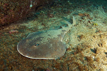 Giant Electric Ray (Narcine entemedor) hiding in sand, Revillagigedos Islands, Mexico  -  Norbert Wu
