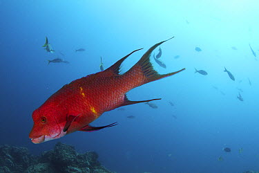 Streamer Hogfish (Bodianus diplotaenia) male, Revillagigedos Islands, Mexico  -  Norbert Wu