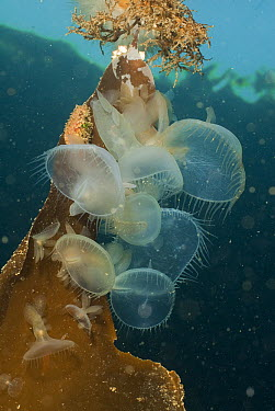 Lion Nudibranch (Melibe leonina) group on kelp blade with hoods extended as they feed in the ocean current, Vancouver Island, British Columbia, Canada  -  Norbert Wu