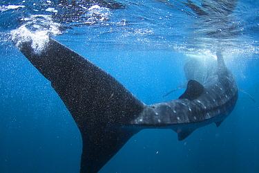 Whale Shark (Rhincodon typus) feeding on plankton off Isla Mujeres, Mexico  -  Norbert Wu