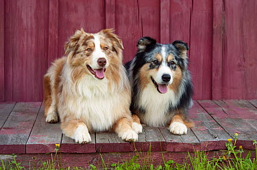 Australian Shepherd (Canis familiaris) males on porch  -  Mark Raycroft