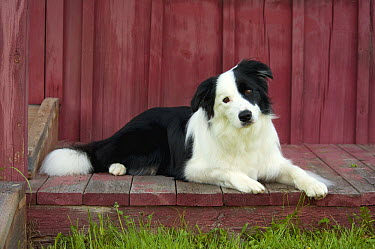 Border Collie (Canis familiaris) on porch  -  Mark Raycroft