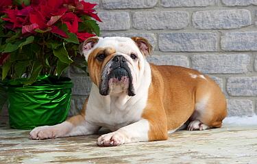 English Bulldog (Canis familiaris) male  -  Mark Raycroft