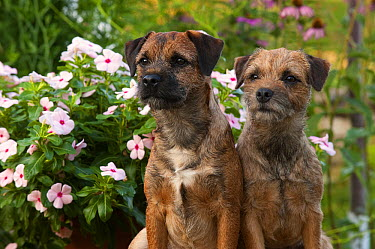 Border Terrier (Canis familiaris) males in garden  -  Mark Raycroft
