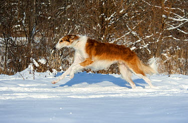 Russian Wolfhound (Canis familiaris) running in snow  -  Mark Raycroft