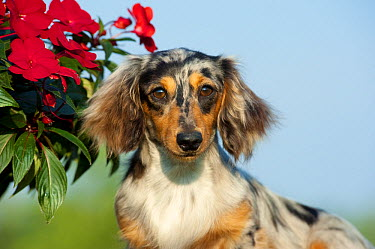 Dachshund (Canis familiaris) with impatiens flowers  -  Mark Raycroft