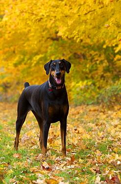 Doberman Pinscher (Canis familiaris) female in fallen leaves  -  Mark Raycroft
