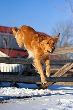 Golden Retriever (Canis familiaris) jumping fence  -  Mark Raycroft