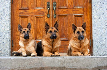 German Shepherd (Canis familiaris) males resting on porch  -  Mark Raycroft