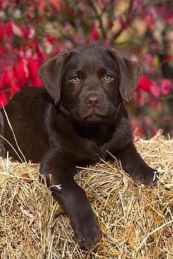 Chocolate Labrador Retriever (Canis familiaris) puppy on hay bale  -  Mark Raycroft