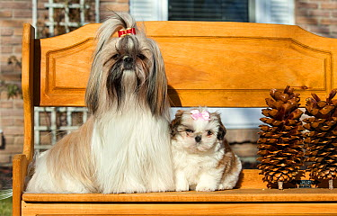 Shih Tzu (Canis familiaris) and puppy on bench  -  Mark Raycroft