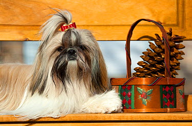 Shih Tzu (Canis familiaris) on bench  -  Mark Raycroft