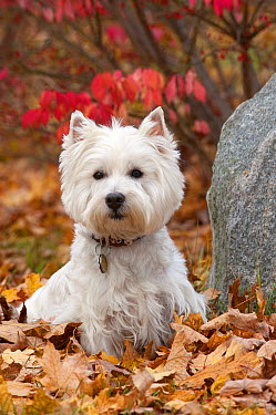 West Highland White Terrier (Canis familiaris) male in autumn leaves  -  Mark Raycroft