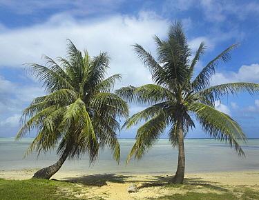 Palm trees, Agana Beach, Guam  -  Tim Fitzharris