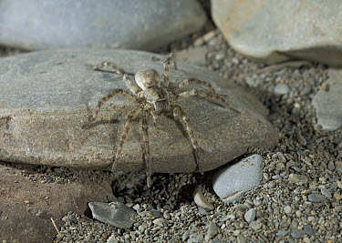 Wolf Spider (Arctosa cinerea), United Kingdom  -  Stephen Dalton