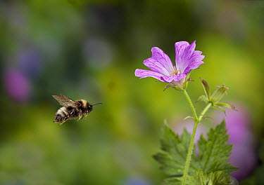 Vestal Cuckoo Bee (Bombus vestalis) flying, England  -  Stephen Dalton