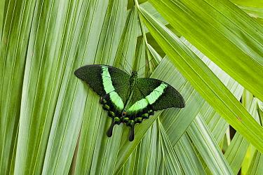 Emerald Swallowtail (Papilio palinurus) butterfly, southeast Asia  -  Stephen Dalton