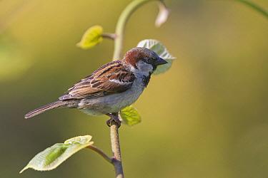 House Sparrow (Passer domesticus), England  -  Stephen Dalton
