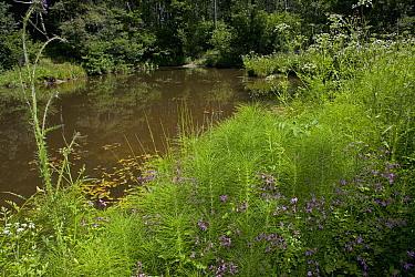 Ragged Robin (Lychnis flos-cuculi), Water Dropwort (Oenanthe sp), Marsh Thistle (Cirsium palustre) around pond in june, Sussex, England  -  Stephen Dalton