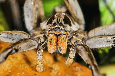 Wolf Spider (Hogna sp), Mindo, western slope of Andes, Ecuador  -  James Christensen