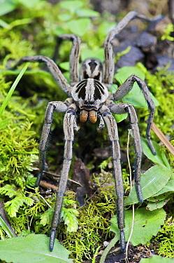 Wolf Spider (Hogna sp) male, Mindo, western slope of Andes, Ecuador  -  James Christensen