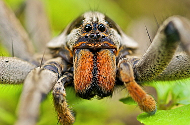 Wolf Spider (Hogna sp), Mindo, western slope of Andes, Ecuador  -  James Christensen