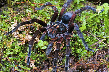Tarantula (Pamphobeteus sp) male, Mindo, western slope of Andes, Ecuador  -  James Christensen