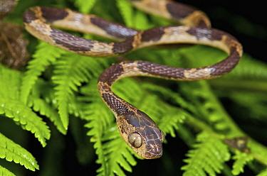 Blunt-headed Tree Snake (Imantodes cenchoa), Mindo, western slope of Andes, Ecuador  -  James Christensen