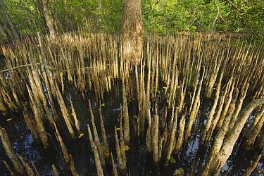 Mangrove (Rhizophoraceae) pneumatophores, Tompotika Peninsula, central Sulawesi, Indonesia  -  Kevin Schafer