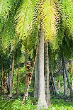 Coconut Palm (Cocos nucifera) harvest, central Sulawesi, Indonesia  -  Kevin Schafer
