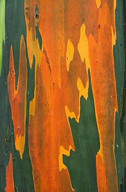 Indonesian Gum (Eucalyptus deglupta) bark, Tompotika Peninsula, central Sulawesi, Indonesia  -  Kevin Schafer