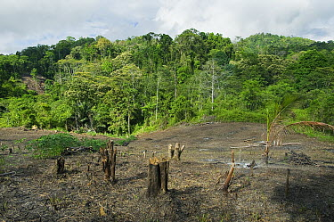 Rainforest clearing for slash and burn agriculture, central Sulawesi, Indonesia  -  Kevin Schafer
