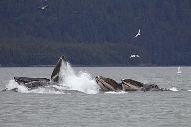 Humpback Whale (Megaptera novaeangliae) group bubble net feeding near Juneau, Alaska  -  Matthias Breiter
