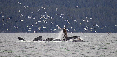 Humpback Whale (Megaptera novaeangliae) bubble net feeding near Juneau with seagulls stealing fish, Alaska  -  Matthias Breiter