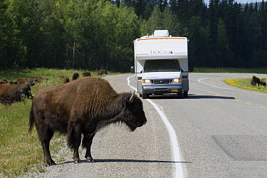 Wood Bison (Bison bison athabascae) crossing Alaska Highway near Liard River Hot Springs Provincial Park wtih RV in the background, British Columbia, Canada  -  Matthias Breiter