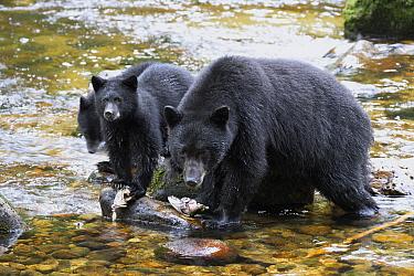 Black Bear (Ursus americanus) female with cubs feeding on Pink Salmon (Oncorhynchus gorbuscha), Great Bear Rainforest, British Columbia, Canada  -  Matthias Breiter